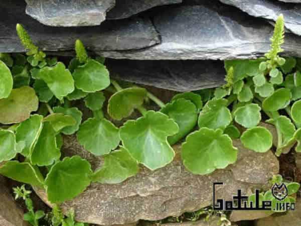 beneficios hojas umbilicus