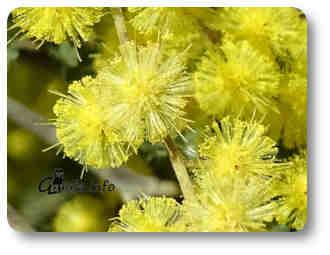 flores acacia plantas y árboles aromáticos