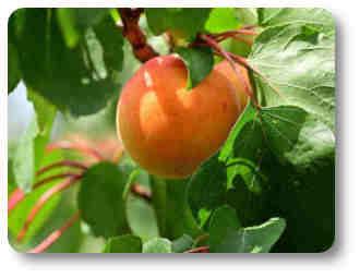plantas o árboles frutales