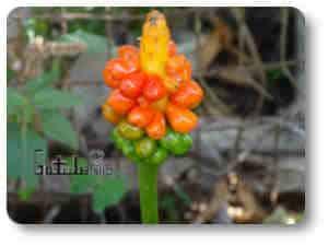 planta peligrosa arum maculatum