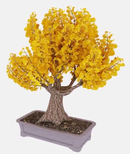 bonsai ginkgo biloba
