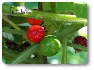 planta tóxica bryonia