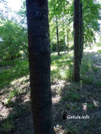 árboles para madera