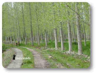 chopos árboles madereros