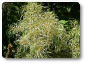 Clematis plantas y árboles venenosos