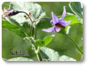 Planta venenosa dulcamara