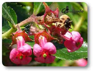 flores escalonia plantas y árboles aromáticos