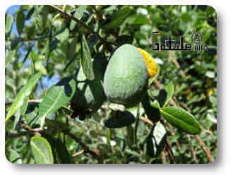 feijoa árboles y plantas frutales