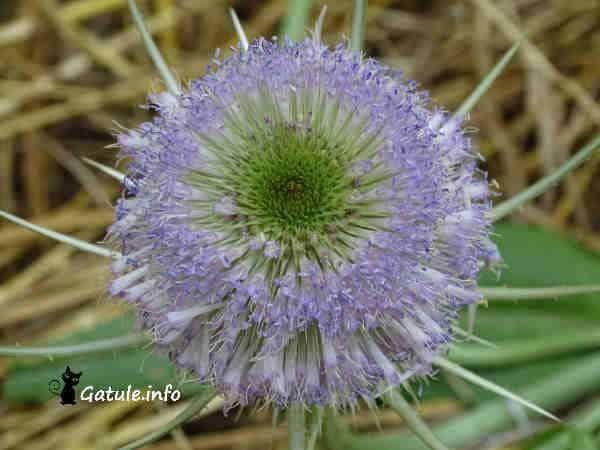 flor agua benditera