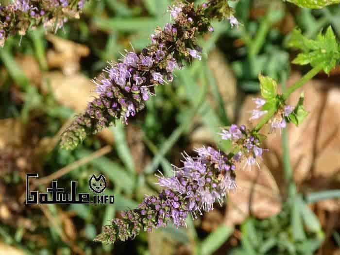 plantas y árboles aromáticos menta