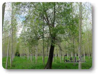 fresno un árbol maderero