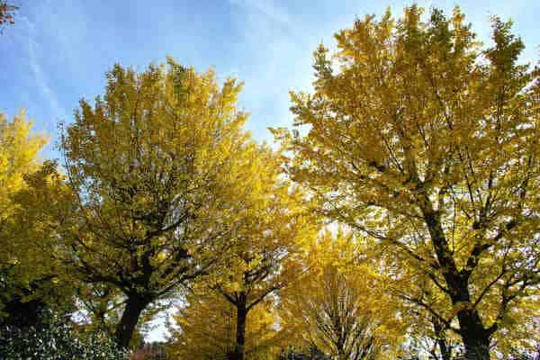 árboles ginkgo biloba
