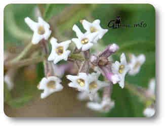 planta hierba luisa flores