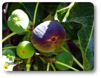 higuera plantas y árboles frutales
