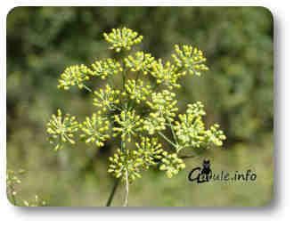 planta olorosa hinojo