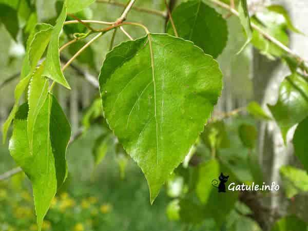 hojas del árbol chopo