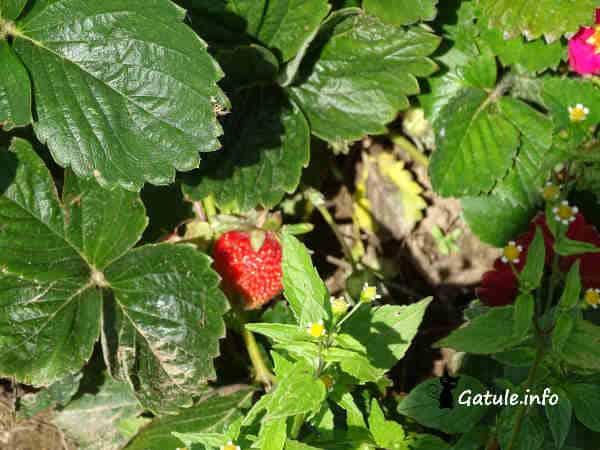 planta fresa o fragaria ananassa