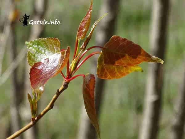 hojas nuevas chopo canadiense