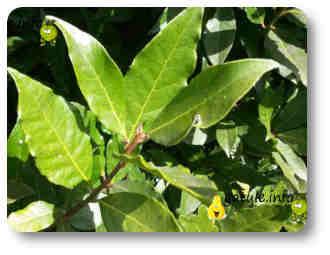 árbol de hojas aromáticas