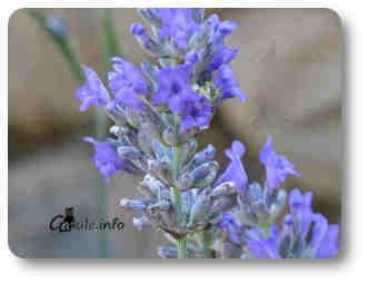 flores planta lavanda