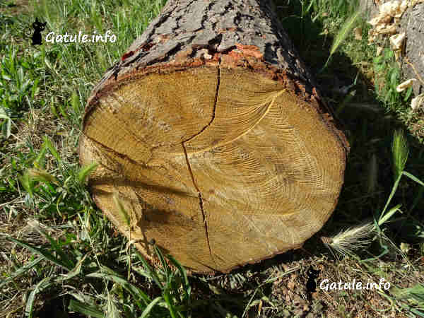 madera de aliso