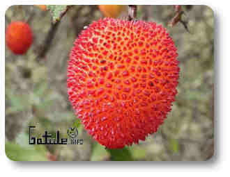 árbol frutal silvestre
