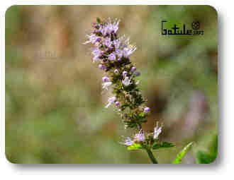 menta planta fragante y olorosa