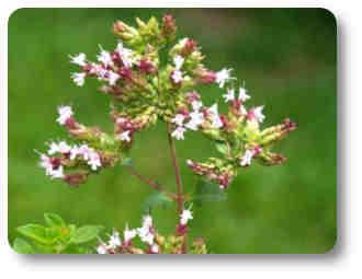 oregano planta de flores olorosas