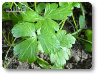 perejil planta aromática culinaria