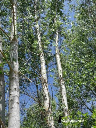 chopos árboles