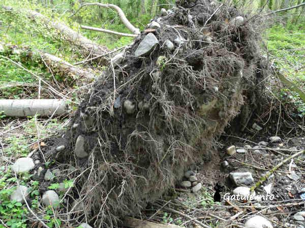 Raíces del árbol chopo