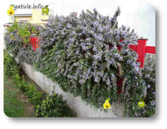arbusto romero plantas y árboles aromáticos