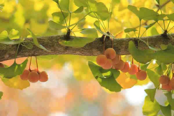 fruto del ginkgo