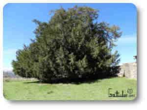 tejo plantas y árboles venenosos