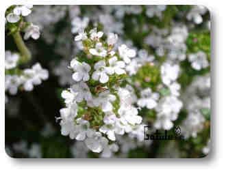 arbusto tomillo oloroso