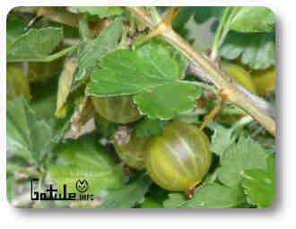 uva espina arbusto frutal