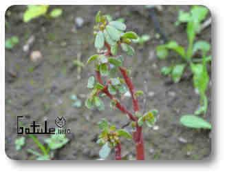 planta curativa