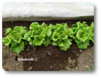lechuga planta comestible