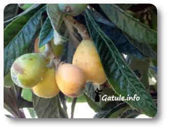 níspero plantas y árboles frutales