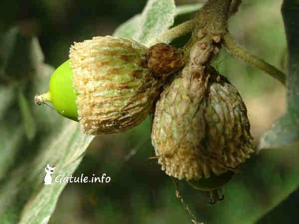 bellotas Quercus pyrenaica o Roble común