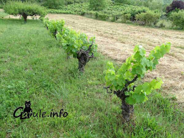 propiedades Vitis vinifera