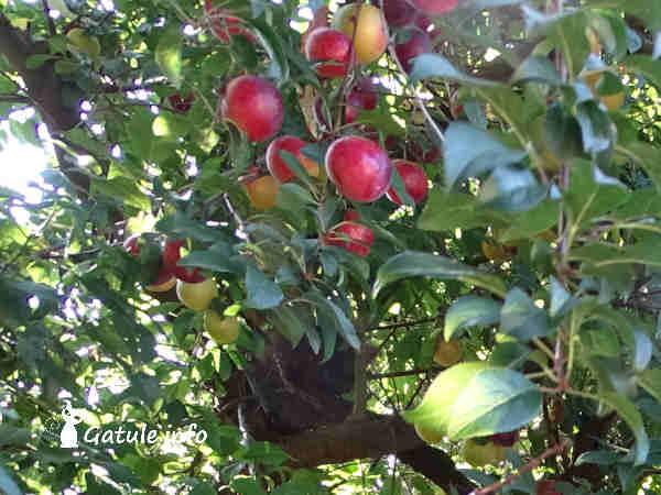 árbol ciruelo con frutos