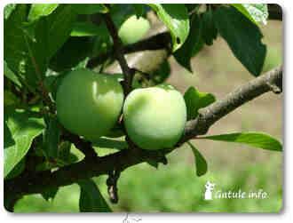 ciruelo plantas y árboles frutales
