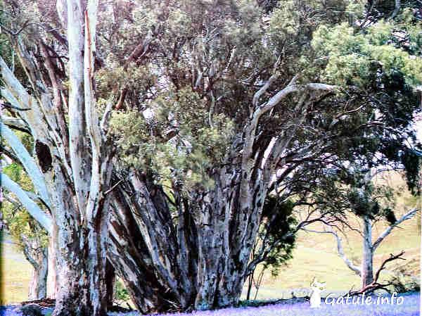 eucaliptus variedad eucalipto de rio