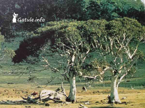 árbol eucalipto de las nieves
