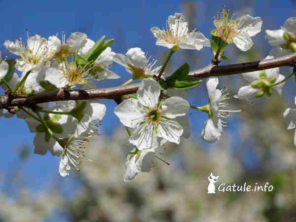 flor ciruelo