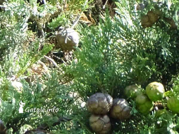 frutos Ciprés o Cupressus
