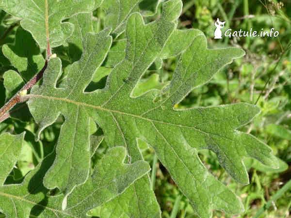 Hoja Quercus pyrenaica