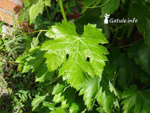 hojas Vitis vinifera