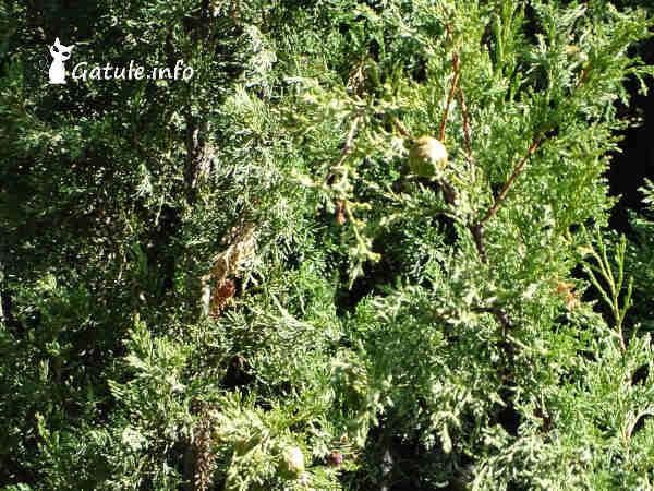 hojas del árbol ciprés